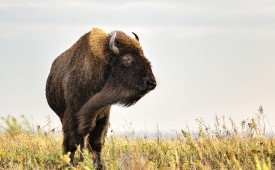 Bison on prairie