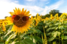 Sunflower in field wearing sunglasses